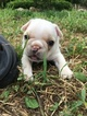 Faux Frenchbo Bulldog Puppy For Sale in ALTOONA, KS, USA