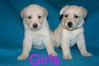 Goberian Puppy For Sale in DAVENPORT, FL