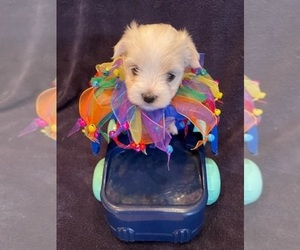 Maltese Puppy for sale in WILSONVILLE, OR, USA