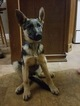 German Shepherd Dog Puppy For Sale in BREMEN, KY