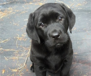 Labrador Retriever Puppy for Sale in CHEHALIS, Washington USA
