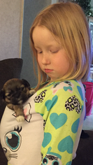 Shih Tzu Puppy For Sale in PLYMOUTH, MI