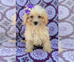 Cavachon-Poodle (Toy) Mix Puppy for sale in LANCASTER, PA, USA