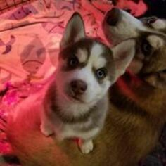 Pomsky Puppy For Sale in WEIR, TX, USA