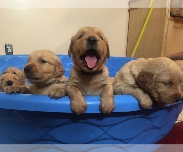 Medium Photo #1 Golden Retriever Puppy For Sale in SANTA ANA, CA, USA