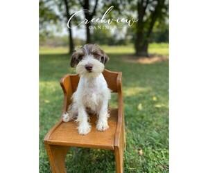 Schnauzer (Miniature) Puppy for sale in NIANGUA, MO, USA