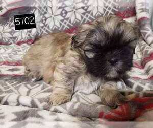 Shih Tzu Puppy for sale in MOUNTAIN GROVE, MO, USA