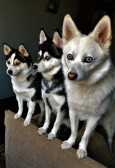 Alaskan Klee Kai Puppy For Sale in DICKSON CITY, PA