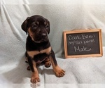 Puppy 4 Catahoula Leopard Dog