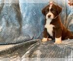 Puppy 6 Sheprador