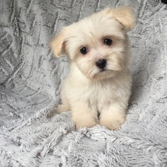 View Ad Havanese Puppy For Sale Near Texas Houston Usa Adn 26797
