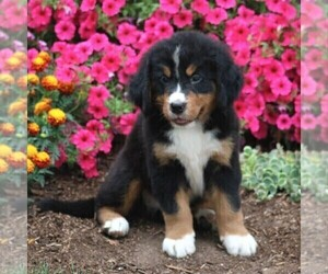Bernese Mountain Dog Puppy for sale in QUARRYVILLE, PA, USA