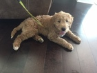 Goldendoodle Puppy For Sale in CEDAR PARK, TX