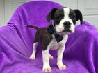 Beabull Puppy For Sale in EPHRATA, PA, USA
