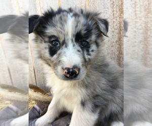 Border-Aussie Puppy for Sale in LOMA, Colorado USA