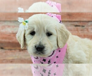 English Cream Golden Retriever-Poodle (Standard) Mix Puppy for sale in KARLSTAD, MN, USA
