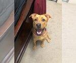Small Photo #6 Boxador Puppy For Sale in CLEVELAND, TN, USA