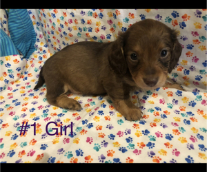 Dachshund Puppy for Sale in LUBBOCK, Texas USA