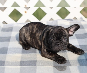 French Bulldog Puppy for Sale in GILLETTE, Wyoming USA