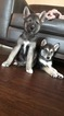 German Shepherd Dog-Siberian Husky Mix Puppy For Sale in MYRTLE BEACH, SC, USA