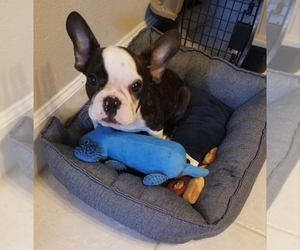 French Bulldog Puppy for Sale in SAN ANTONIO, Texas USA