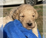 Small #1 Poodle (Standard)
