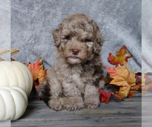 Medium Labradoodle-Poodle (Miniature) Mix