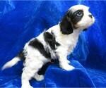 Small #5 Cavalier King Charles Spaniel