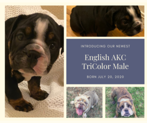 English Bulldog Puppy for Sale in NEOSHO, Missouri USA