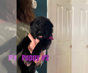 Belgian Malinois Puppy for Sale in GRANT, Alabama USA