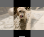 Small #5 Poodle (Standard)-Spinone Italiano Mix