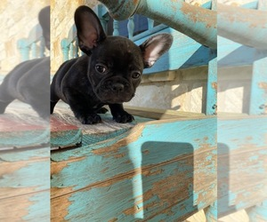French Bulldog Puppy for Sale in WEST, Texas USA