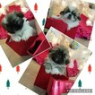Male Pekingese puppies for Sale