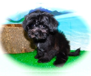 Poodle (Toy)-Shih Tzu Mix Puppy for sale in HAMMOND, IN, USA
