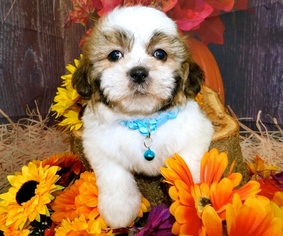 View Ad Shih Tzu Puppy For Sale Near Indiana Hammond Usa Adn 98377