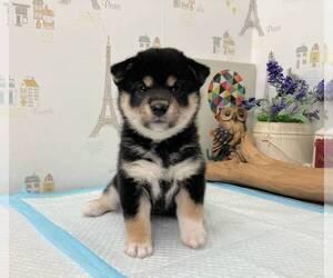 Shiba Inu Puppy for sale in BELLEVUE, WA, USA