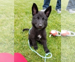 German Shepherd Dog Puppy for sale in TINLEY PARK, IL, USA