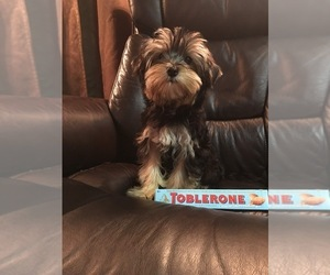 Yorkshire Terrier Puppy for sale in MOUNT VERNON, WA, USA