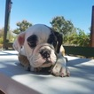 Bulldog Puppy For Sale in LOS ANGELES, CA, USA