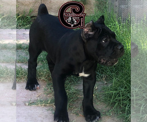 Cane Corso Puppy for sale in CORONA, CA, USA