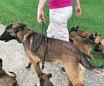 Small Photo #4 Belgian Malinois Puppy For Sale in WEST PLAINS, MO, USA
