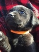 Labrador Retriever Puppy For Sale in WINFIELD, KS, USA