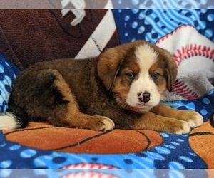 Bernese Mountain Dog-Unknown Mix Puppy for sale in AIRVILLE, PA, USA