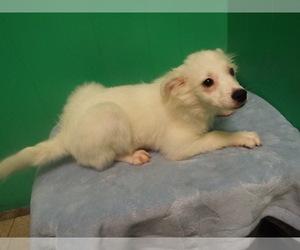 American Eskimo Dog Puppy for sale in PATERSON, NJ, USA