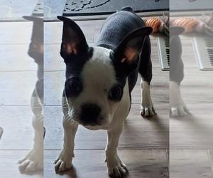 Boston Terrier Puppy for sale in NEWBURY, MA, USA