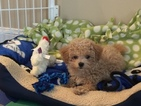 Maltese-Poodle (Toy) Mix Puppy For Sale in DANVERS, MA, USA