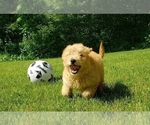 Goldendoodle Puppy For Sale in MILFORD, MI, USA