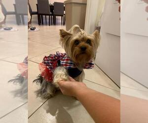 Yorkshire Terrier Puppy for sale in BOCA RATON, FL, USA