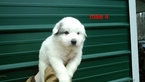 Great Pyrenees Puppy For Sale near 23139, Powhatan, VA, USA