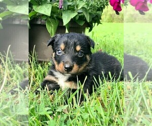 Miniature Australian Shepherd Puppy for Sale in SPENCER, Tennessee USA